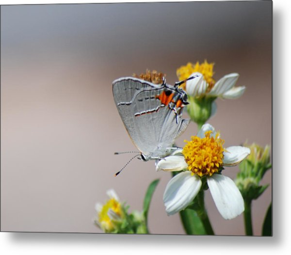 Hairstreak Metal Print