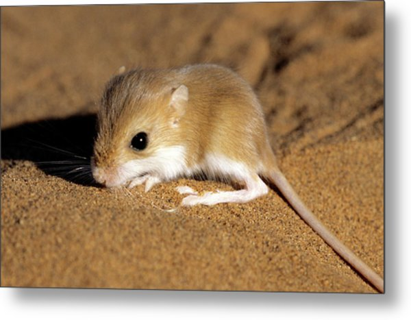 Hairy-footed Gerbil Metal Print by Louise Murray/science Photo Library