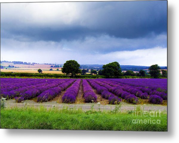 Hampshire Lavender Field Metal Print
