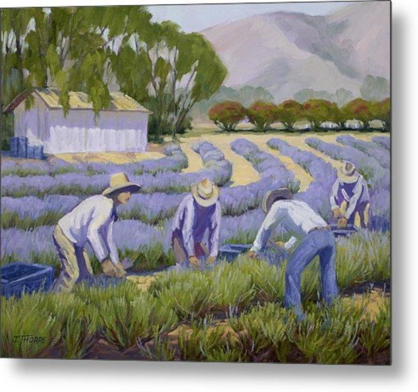 Hand-picked Lavender Metal Print