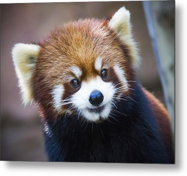 Happy Red Panda Metal Print