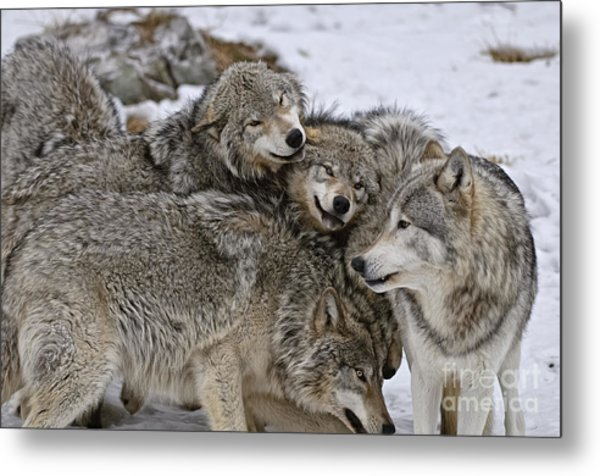 Happy Wolf Pack Metal Print
