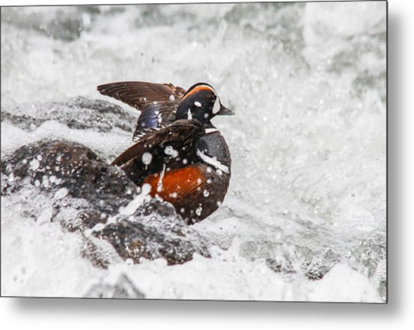 Harlequin In The Rapids Metal Print by Jill Bell