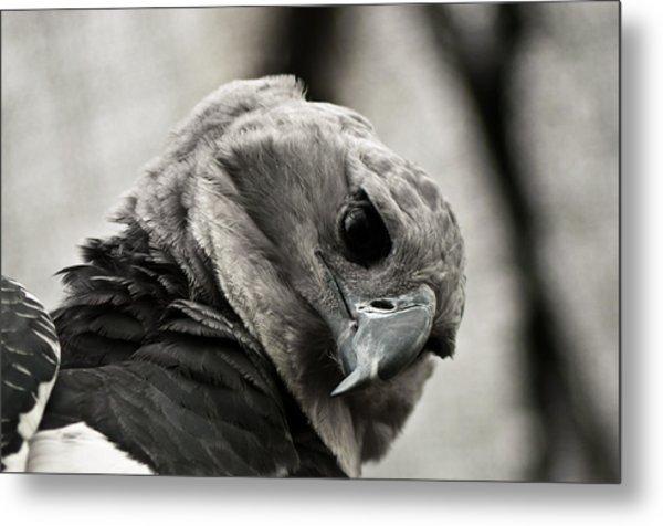 Harpy Eagle Closeup Metal Print