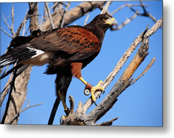 Harris's Hawk Metal Print