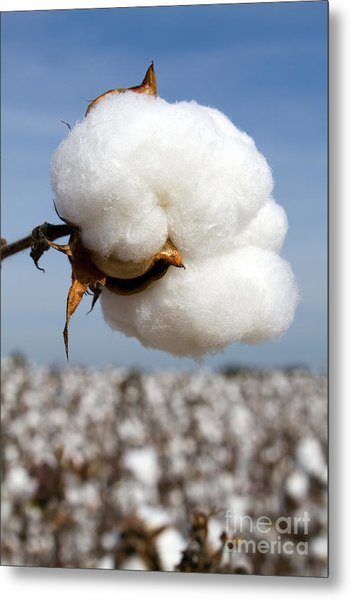 Harvest Ready Cotton Boll Metal Print