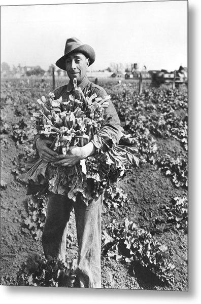 Harvesting Rhubarb In Alameda Metal Print