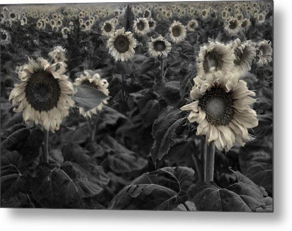 Haunting Sunflowers Field 3 Metal Print
