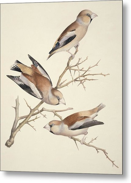 Hawfinches, 19th Century Artwork Metal Print by Science Photo Library