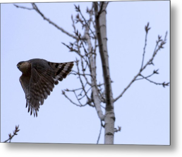 Hawk And Birch Metal Print by Valerie Wolf