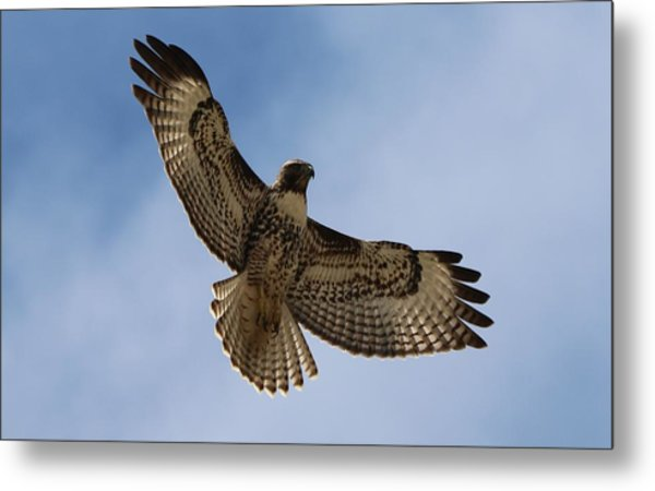 Hawk In Flight  Metal Print