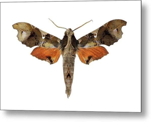 Hawk Moth Metal Print
