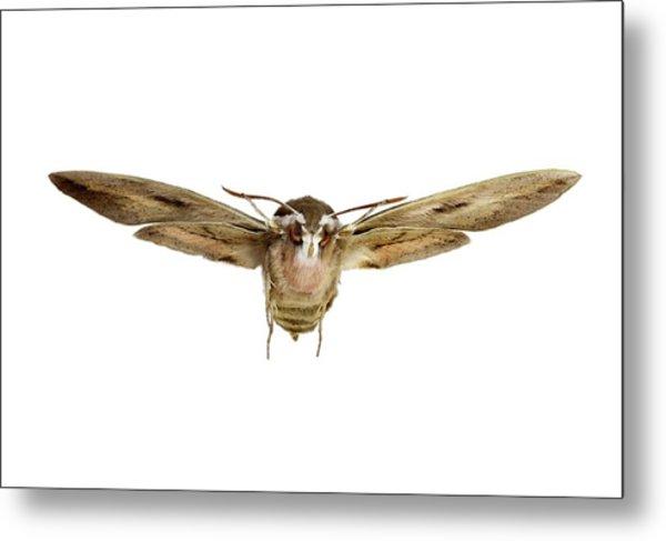 Hawk Moth In Flight Metal Print