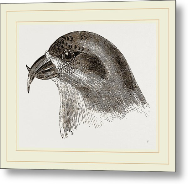 Head Of Crossbill Metal Print