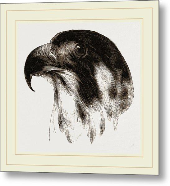 Head Of Peregrine Falcon Metal Print