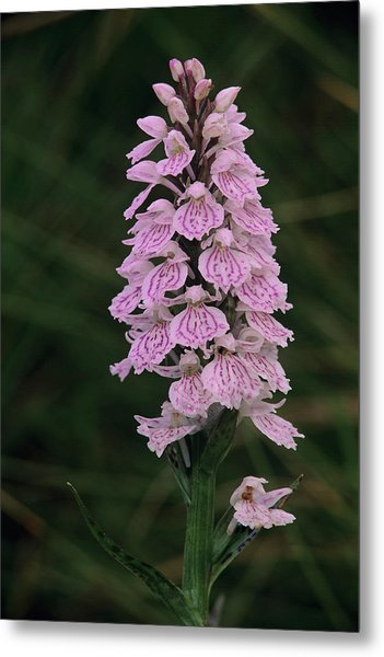 Heath Spotted Orchid Flowers Metal Print by Duncan Shaw/science Photo Library