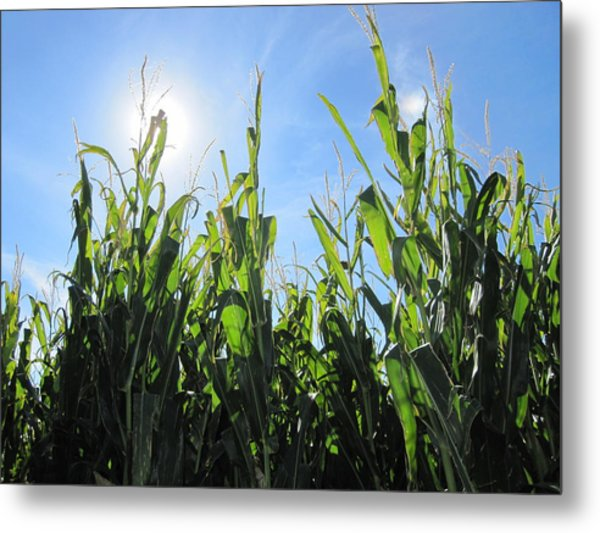 Heaven In Corn Metal Print by Amanda Powell