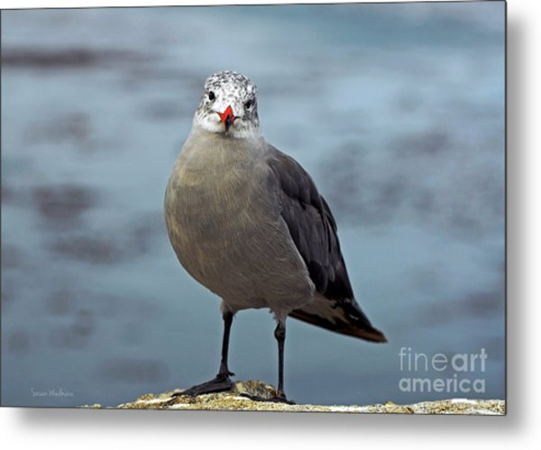 Heermann's Gull Looking At Camera Metal Print