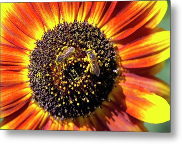 Helianthus Annuus 'solar Eclipse' Metal Print by Brian Gadsby/science Photo Library