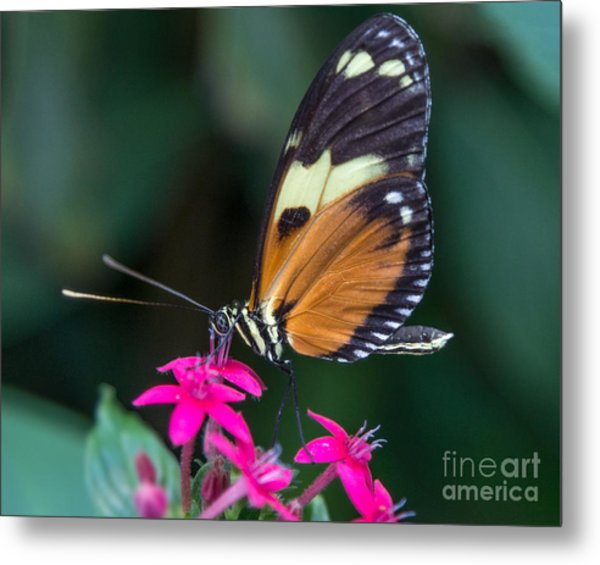 Heliconius Ismenius Metal Print