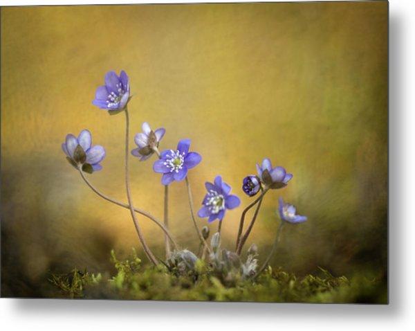 Hepatica Nobilis Flower Metal Print