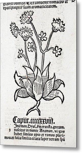 Herbal Plant Metal Print by Paul D Stewart