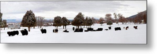 Herd Of Yaks Bos Grunniens On Snow Metal Print