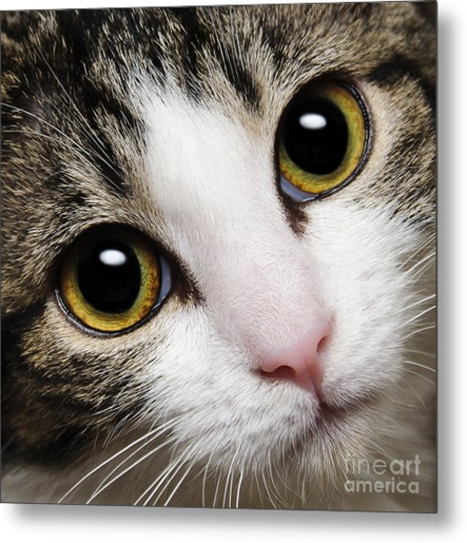 Here Kitty Kitty Close Up Metal Print
