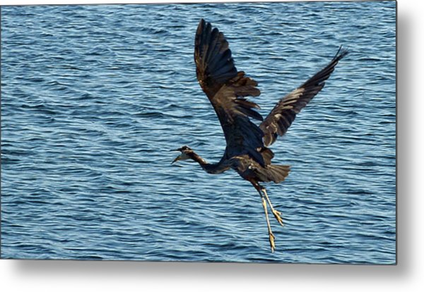 Heron In Flight Metal Print