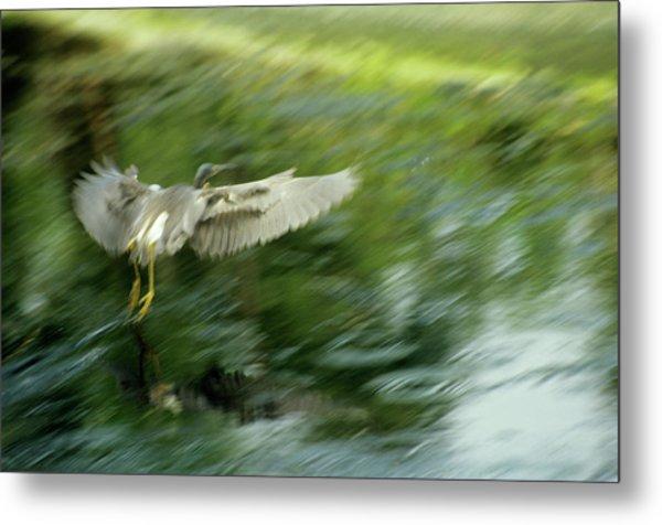 Heron Taking Off Metal Print