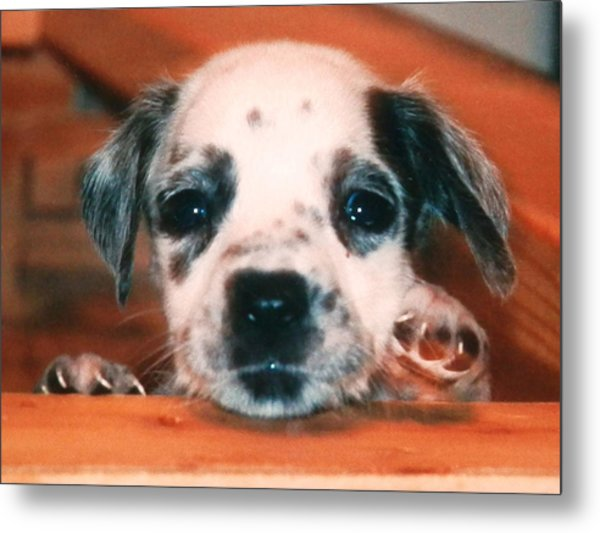 Dalmatian Sweetpuppy Metal Print