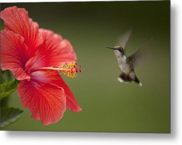 Hibiscus Hummingbird Metal Print