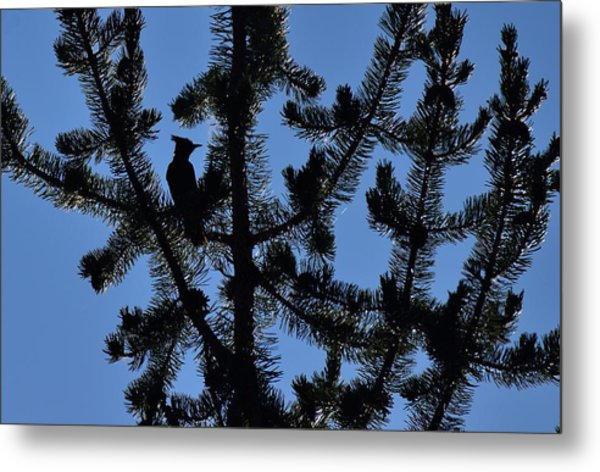 Hidden Bluejay In Silhouette Metal Print by Rich Rauenzahn