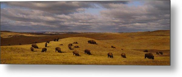 High Angle View Of Buffaloes Grazing Metal Print
