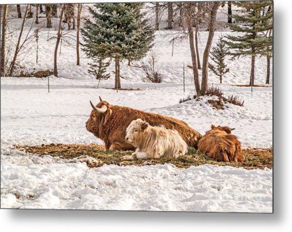 Highland Cow With Calves Metal Print