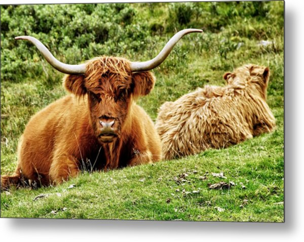 Highland Cows Metal Print