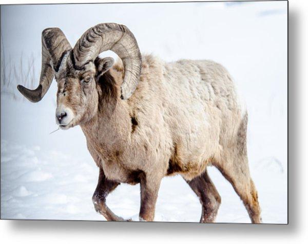 Big Horns On This Big Horn Sheep Metal Print