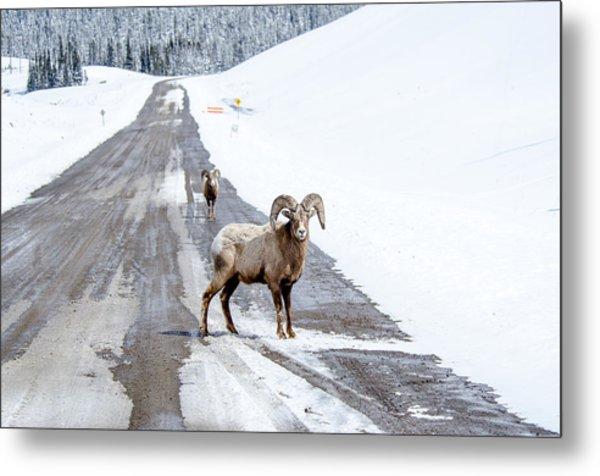 On The Road Again Big Horn Sheep  Metal Print