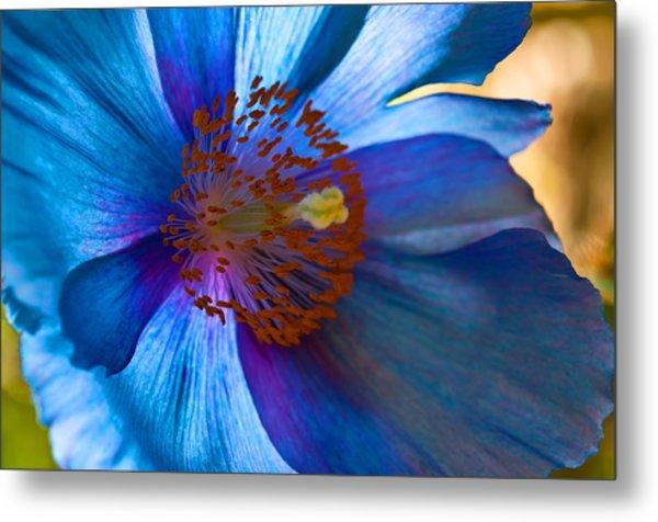 Himalayan Blue Poppy IIi Metal Print
