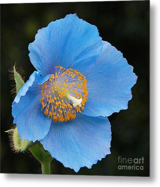 Himalayan Gift -- Meconopsis Poppy Metal Print