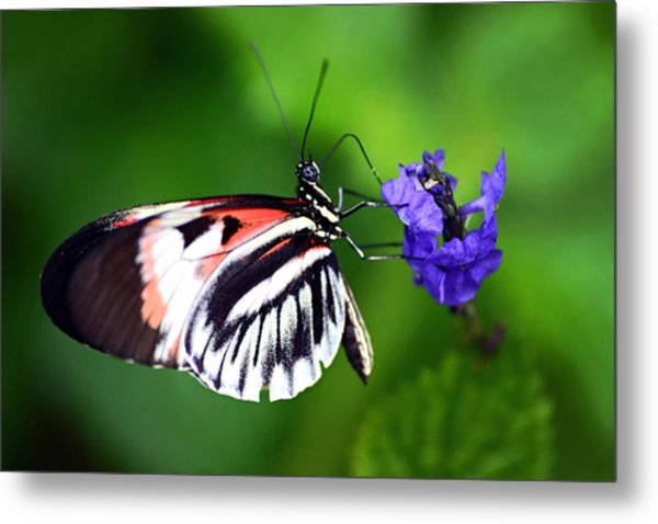 Hint Of Red Butterfly Metal Print
