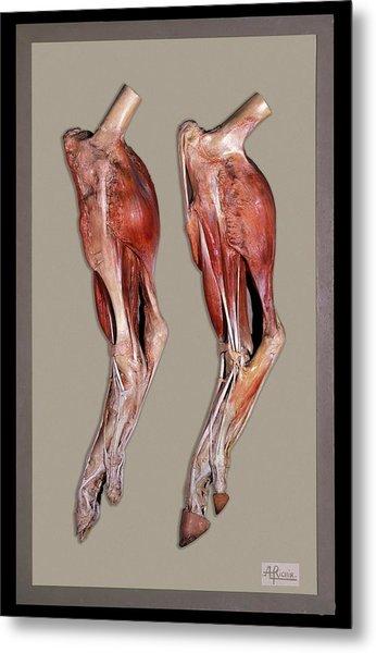 Historical Animal Anatomy Model Metal Print
