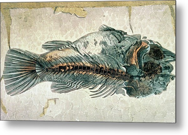 Historical Illustration Of Fossil Perch Fish Metal Print