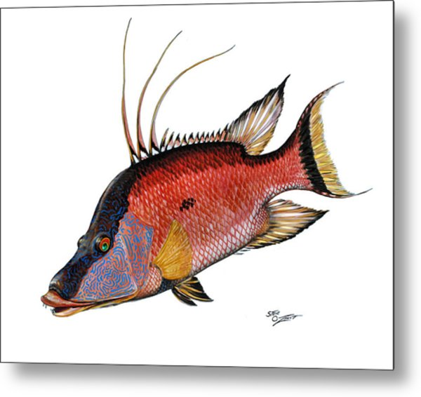 Metal Print featuring the painting Hogfish On White by Steve Ozment