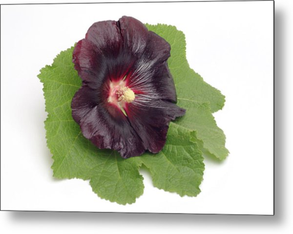 Hollyhock (alcea Rosea) Metal Print by Bildagentur-online/th Foto/science Photo Library