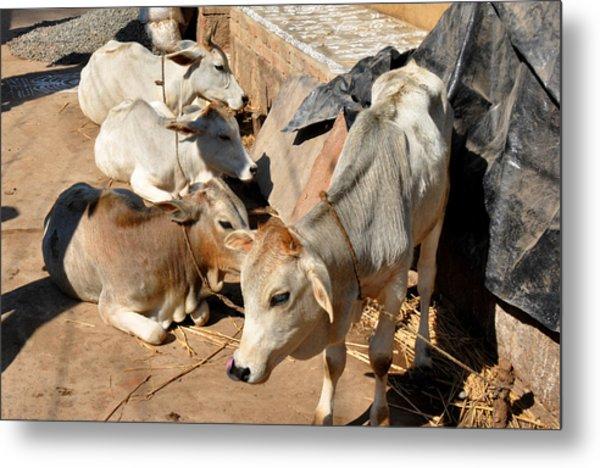 Holy Cows Odisha India Metal Print