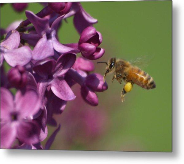 Honey Bee And Lilac Metal Print