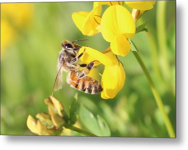 honeybee on Birdsfool Trefoil Metal Print