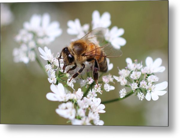 Honeybee On Cilantro Metal Print