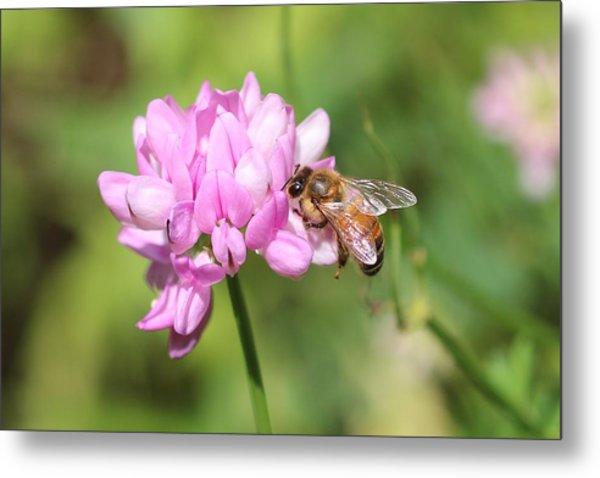 Honeybee On Crown Vetch Metal Print
